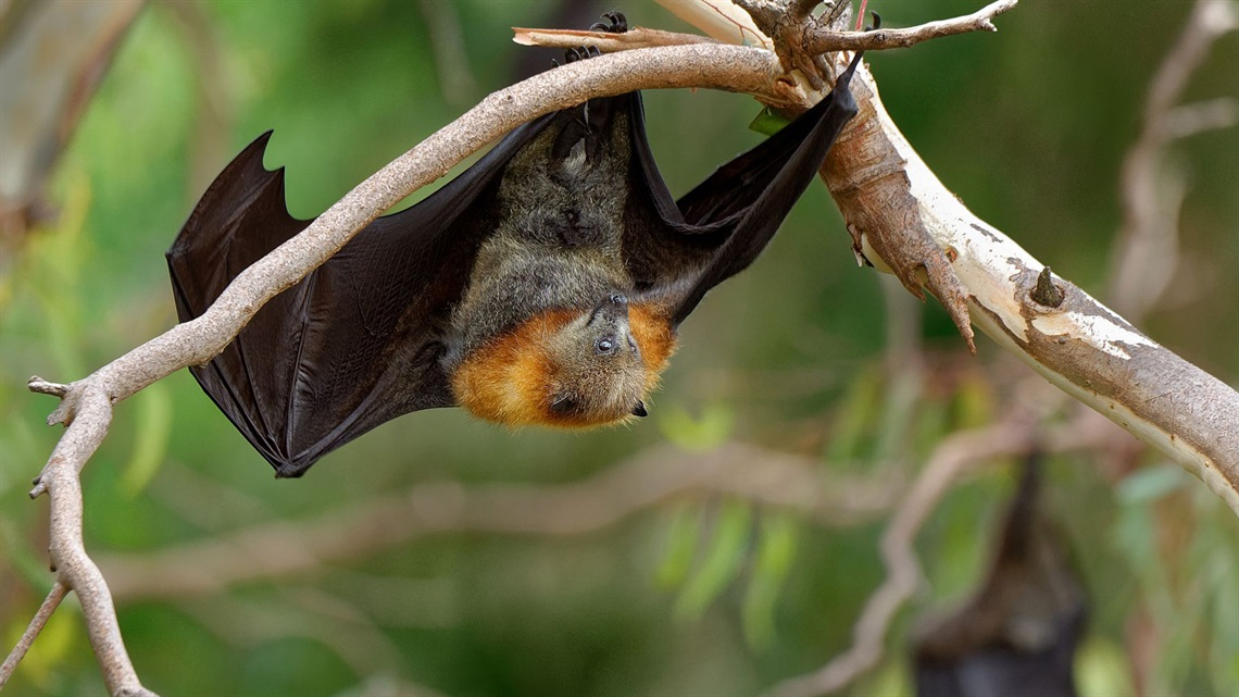 Flying-fox pictured.